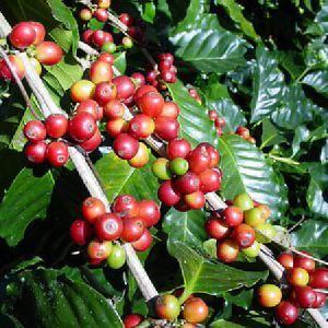 coffee20plant20red20berries2031